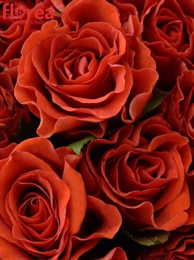 Kytice 100 červených růží REVOLUTION 50cm