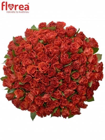 Kytice 100 červených růží EL TORO 60cm (M)