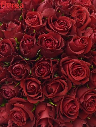 Kytice 100 červených růží FURIOSA 60cm