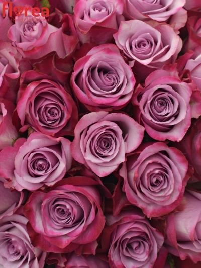 Kytice 100 fialových růží DEEP PURPLE 50cm