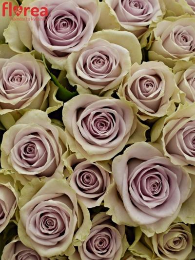 Kytice 100 fialových růží FIFTH AVENUE! 50cm