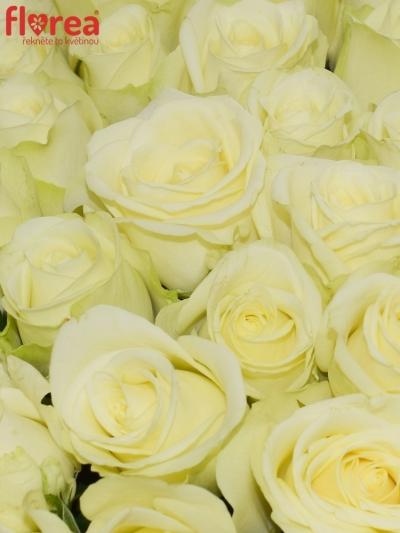 Kytice 100 krémových růží PEGASSO