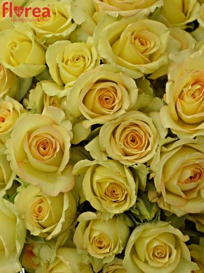 Kytice 100+ květů růží ESTEVANA 50cm