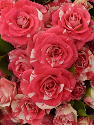 Kytice 100+ květů růží FIREWORKS 50cm