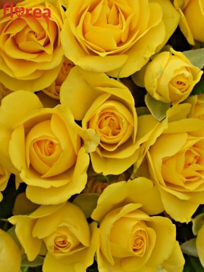 Kytice 100+ květů růží MARISA 40cm