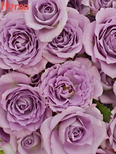 Kytice 100+ květů růží OCEAN MIKADO 50cm