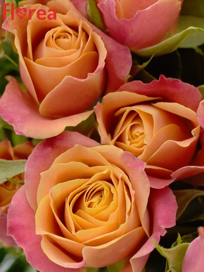 Kytice 100+ květů růží SONORA 50cm