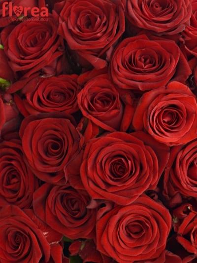 Kytice 100 míchaných růží JOANNA 55cm