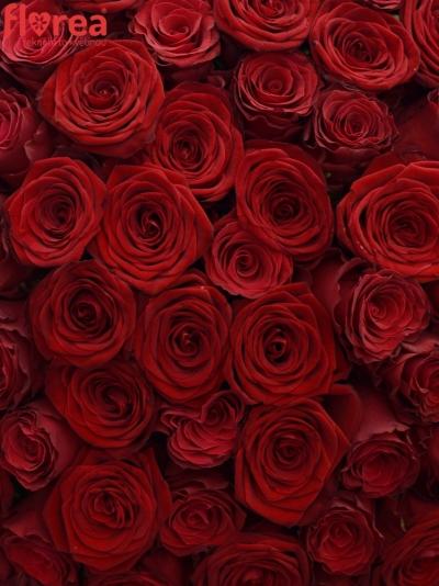 Kytice 100 míchaných růží REDOS 90cm