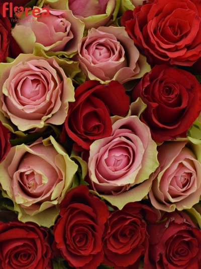 Kytice 100 míchaných růží ROSEBELLINE 50cm