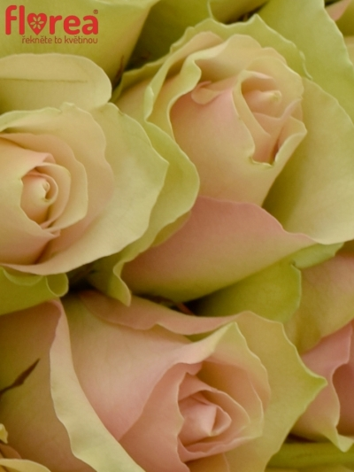 Kytice 100 růží LA BELLE 60cm