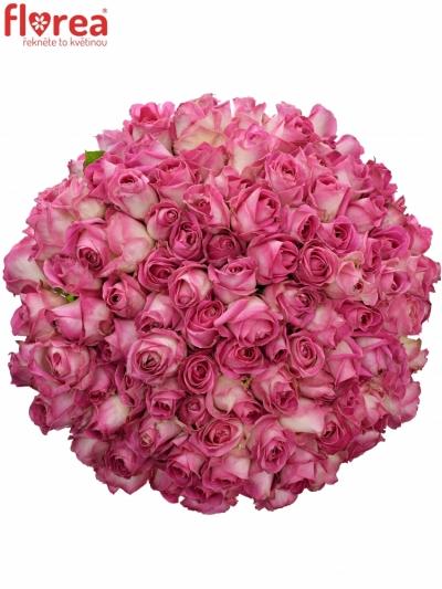 Kytice 100 růžových růží AVALANCHE CANDY+ 60cm