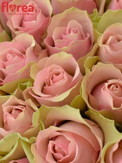 Kytice 100 růžových růží BELLE ROSE 50cm