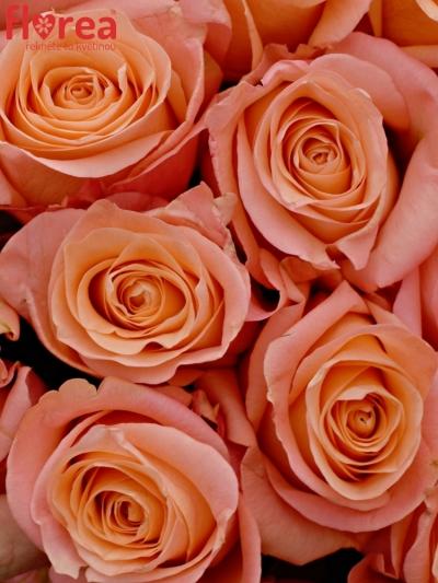 Kytice 100 růžových růží LADY MARGARET 60cm