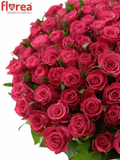 Kytice 100 růžových růží ORCHESTRA