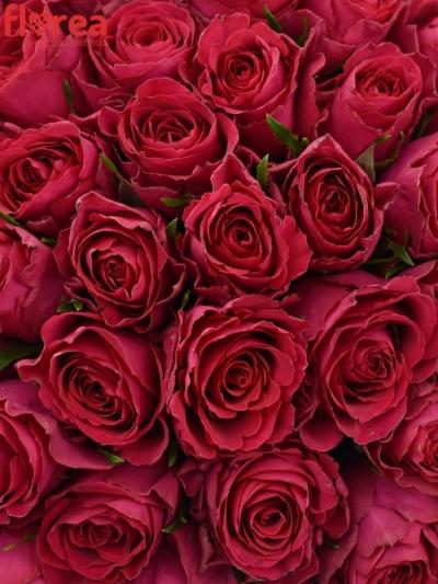 Kytice 100 vínových růží BINGO CERICE 50cm