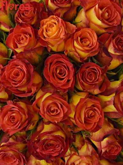 Kytice 100 žíhaných růží CATCH
