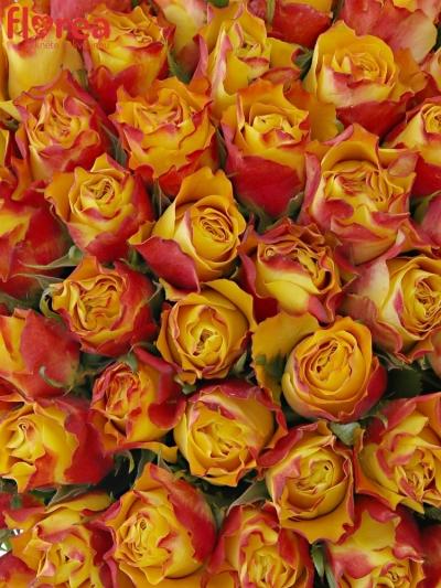 Kytice 100 žíhaných růží DOWNTOWN!