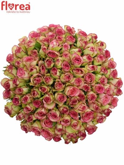 Kytice 100 žíhaných růží GLOW! 50cm