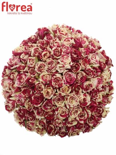 Kytice 100 žíhaných růží HARLEQUIN 50cm