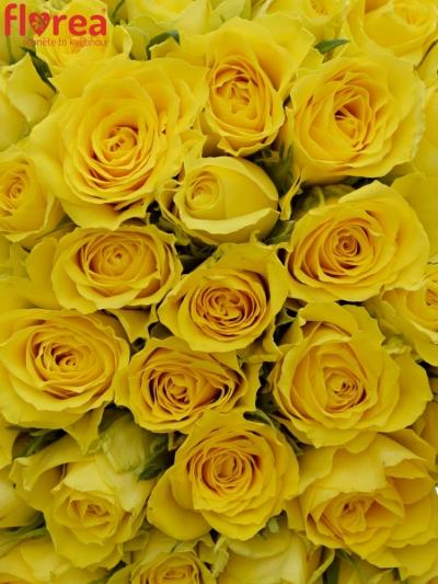 Kytice 100 žlutých růží GOLDEN TOWER 60 cm