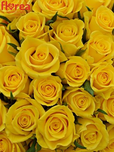 Kytice 100 žlutých růží MOONWALK 50 cm