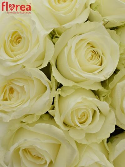 Kytice 15 bílých růží COUNTDOWN