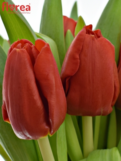 Kytice 15 červených tulipánů ADRIA ø15cm