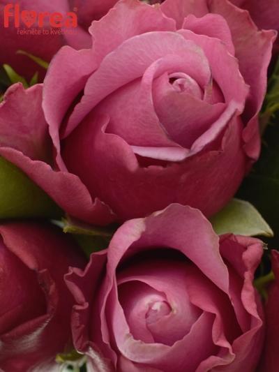 Kytice 15 fialových růží DEEP WATER 40cm