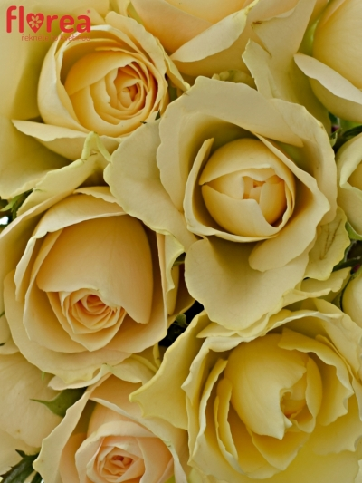 Kytice 15 meruňkových růží ANGELA 40cm