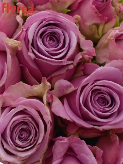 Kytice 15 modrofialových růží COOL WATER 40cm