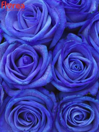 Kytice 15 modrých růží BLUE VENDELA