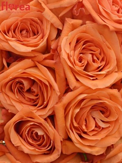 Kytice 15 oranžových růží COPACABANA 50cm