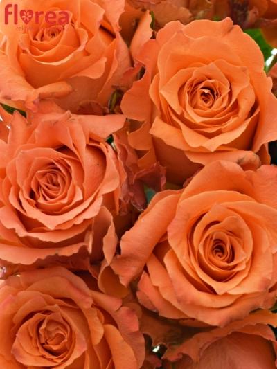 Kytice 15 oranžových růží JULISCHKA 40cm