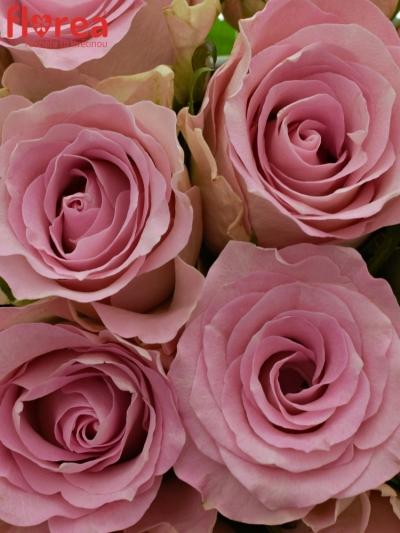 Kytice 15 růžových růží BISOU 60cm