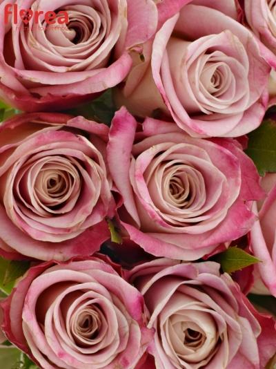 Kytice 15 růžových růží CLASSY ALISON