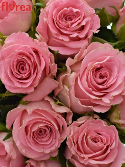 Kytice 15 růžových růží SEDUCTIVE@ 50 cm
