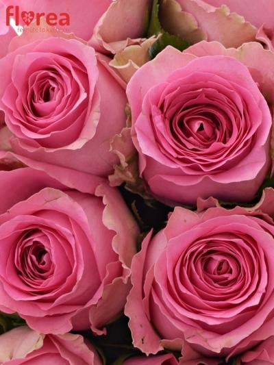 Kytice 15 růžových růží SHANGHAI LADY 40cm
