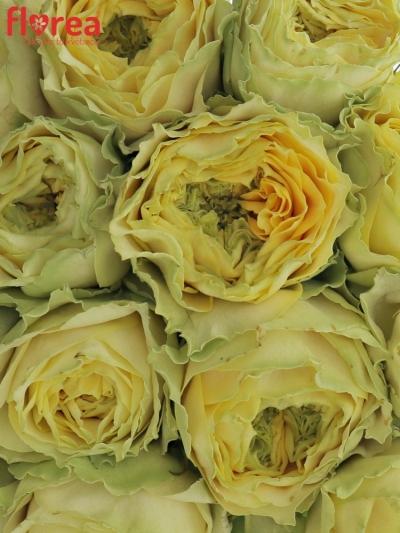 Kytice 15 zelených růží GRASSHOOPER