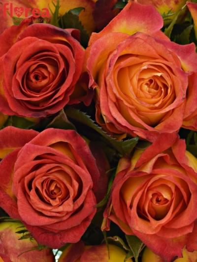 Kytice 15 žíhaných růží CATCH