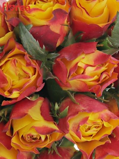 Kytice 15 žíhaných růží DOWNTOWN!