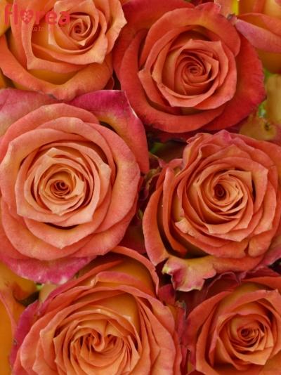 Kytice 15 žíhaných růží UTOPIA