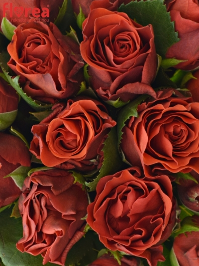 Kytice 21 červených růží EL TORO 30cm