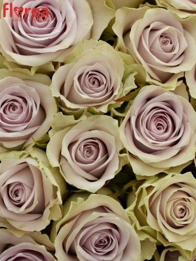 Kytice 21 fialových růží FIFTH AVENUE! 40cm