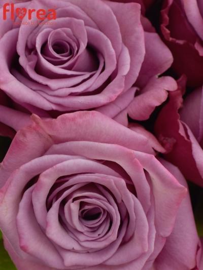 Kytice 21 fialových růží MOODY BLUES 40cm
