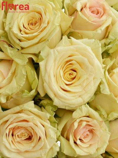 Kytice 21 krémových růží SAHARA ISLAND@