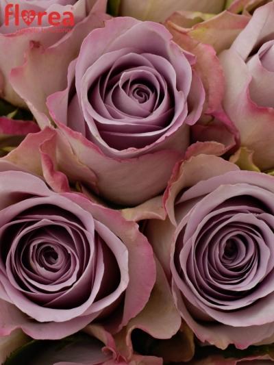 Kytice 21 modrofialových růží MEMORY LANE 40cm