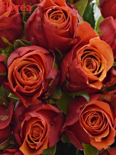 Kytice 21 oranžovočervených růží ESPANA 40cm