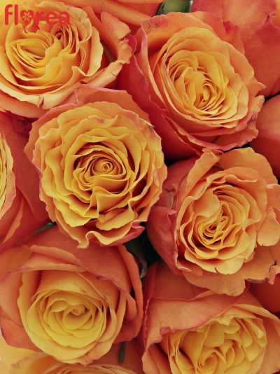 Kytice 21 oranžových růží CONFIDENTIAL 35cm