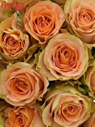 Kytice 21 oranžových růží FLORENTINE
